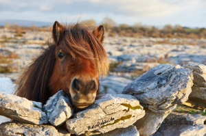 irland the burren nationalpark gipfel pony