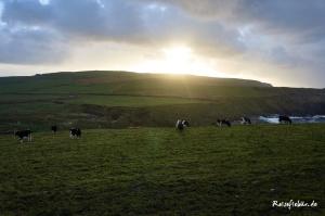 irland westkueste loop head kuhherde sonnenuntergang
