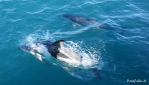 neuseeland suedinsel kaikoura delfine tour