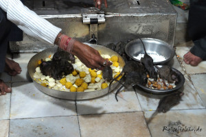 indien rattentempel deshnok fressen schale