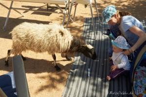 marokko ziege baby