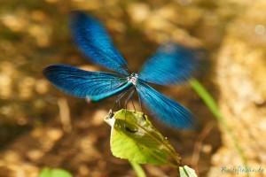 blaue libelle im landeanflug